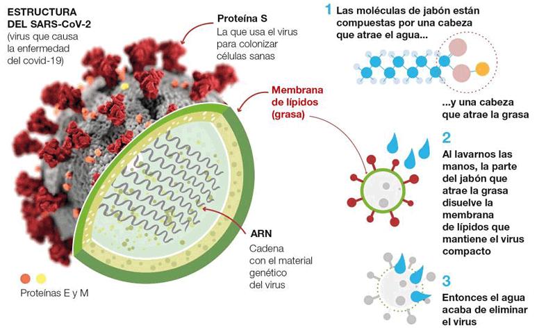 Cómo el jabón actúa sobre el coronavirus